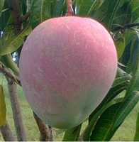 The Kent mangos feature a sweet and delicious taste which is further enhanced by their juicy flesh which has a limited number of fibers. Due to their texture and flavor, Kent mangos are ideal for juicing.