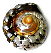 1pc large swirl shell pendant