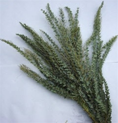 Wholesale Bulk Discount Wholesale Acacia