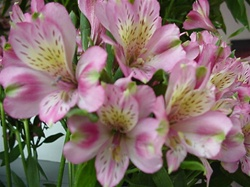 Wholesale Bulk Discount Alstroemeria Peruvian Tiger Lily - Light Pink