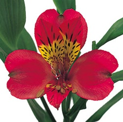 Wholesale Bulk Discount Alstroemeria Peruvian Tiger Lily - Red
