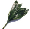 Wholesale Bulk Discount Wholesale Aspidistra Green - Greenery