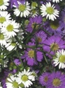 Wholesale Bulk Discount Aster - Asst. Colors