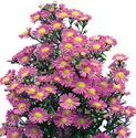 Wholesale Bulk Discount Aster - Purple