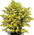 Wholesale Bulk Discount Aster - Yellow Solidago