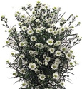 Wholesale Bulk Discount Aster - White