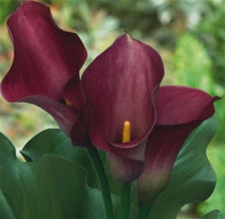 Mini Calla Lily Pink - Dark