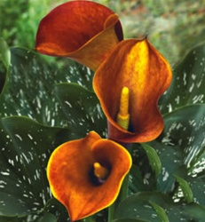 Mini Calla Lily Orange Mango