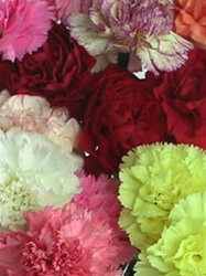 Wholesale Carnations Assorted