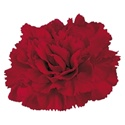 Wholesale Burgundy Carnations