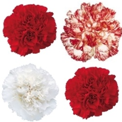Wholesale Bulk Discount Christmas Carnations