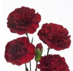 Wholesale Bulk Discount Mini Spray Carnations