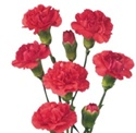 Wholesale Bulk Discount Mini Spray Carnations Hot Pink