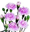 Wholesale Bulk Discount Mini Spray Carnations Lavender