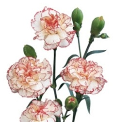 Wholesale Bulk Discount Mini Spray Carnations Peppermint