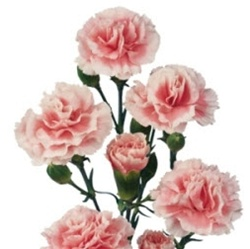 Wholesale Bulk Discount Mini Spray Carnations Pink