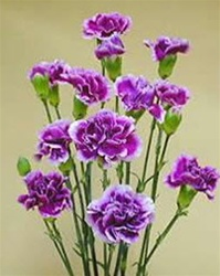 Wholesale Bulk Discount Mini Spray Carnations Purple