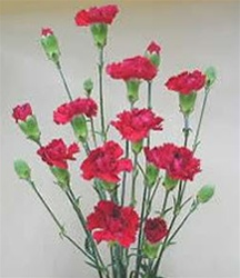 Wholesale Bulk Discount Mini Spray Carnations Red