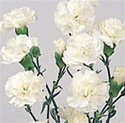 Wholesale Bulk Discount Mini Spray Carnations White