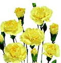 Wholesale Bulk Discount Mini Spray Carnations Yellow