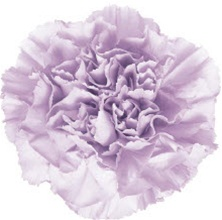 Wholesale Bulk Discount Moonaqua Carnations