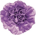 Wholesale Bulk Discount Moonlight Carnations