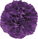 Wholesale Bulk Discount Moonshade Carnations