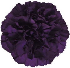 Wholesale Bulk Discount Moonvista Carnations