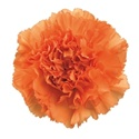 Wholesale Orange Carnations