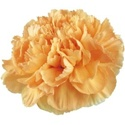 Wholesale Light Orange Carnations