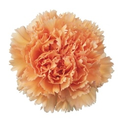 Wholesale Peach Carnations