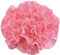Wholesale Pink Carnations