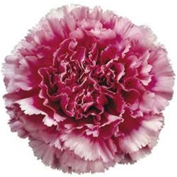 Wholesale Dark Pink Bi-Color Carnations