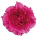 Wholesale Hot Pink Carnations