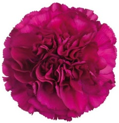 Wholesale Purple Carnations