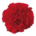 Wholesale Red Carnations