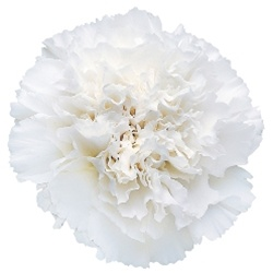 Wholesale White Carnations