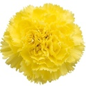 Wholesale Yellow Carnations