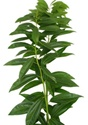 Wholesale Bulk Discount Wholesale Cocculus  - Greenery