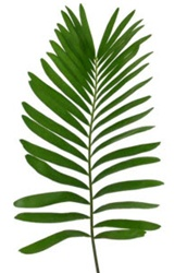 Wholesale Bulk Discount Wholesale Coontie Fern