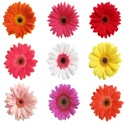 Gerbera Daisy - Assorted