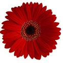 Gerbera Daisy - Red