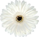 Gerbera Daisy - White /Dark Eye