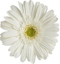 Gerbera Daisy - White-Green Eye