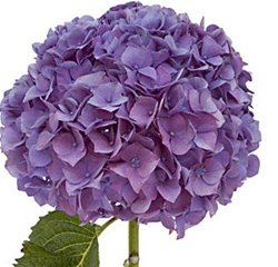 Wholesale Bulk Cut Hydrangea Purple