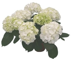 Wholesale Bulk Cut White Hydrangea