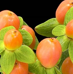 Hypericum Berry - Orange