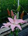 Wholesale Bulk Discount Cut Asiatic Lilies Light Pink