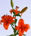 Wholesale Bulk Discount Cut Asiatic Lilies Orange/Red