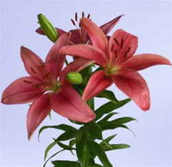 Wholesale Bulk Discount Cut Asiatic Lilies Red